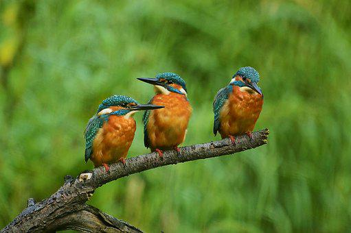 Kingfisher, Nature, Branch