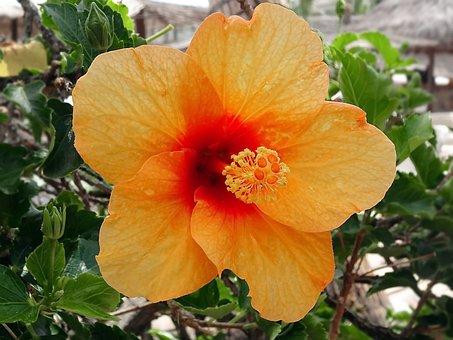 Hibiscus, China Rose, Orange, Mallow, Althea, Stamen
