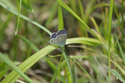 Butterfly, Insect, Blue, Lycaenidae, Cupidinidae