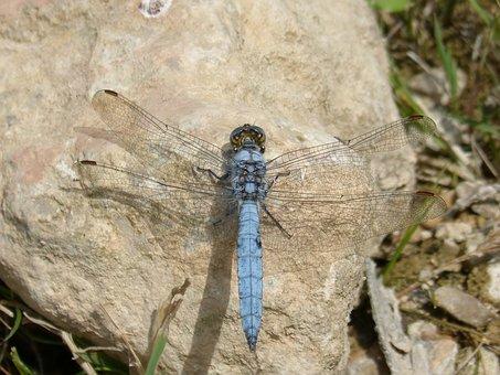 Dragonfly, Orthetrum Brunneum, Blue Dragonfly
