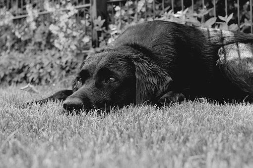 Labrador, Black And White, Dog, Relaxation, Dreams