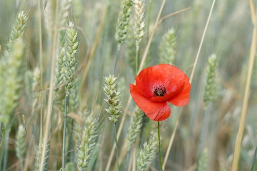 Poppy, One, The Ecclesia, Field, Wheat, Ears, Red
