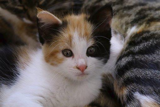Lucky Cat, Cat, Domestic Cat, Female, Close Up, Pretty