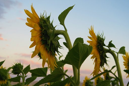 Sunflower, Plant, Flower, Nature, Agriculture, Field