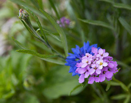 Flower, Cornflower, Blossom, Bloom, Bud, Plant, Summer