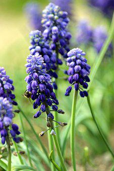 Hyacinth Mouse, Muscari, Flower, Blue, Bloom, Garden