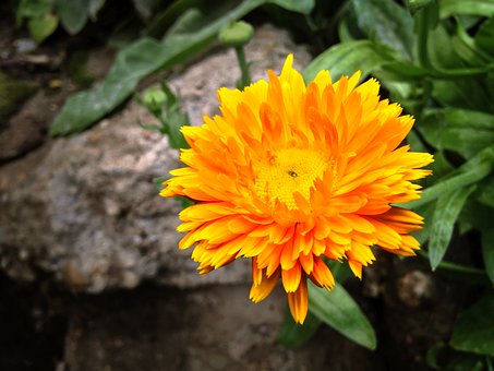 Calendula Officinalis, Pot, Medicinal, Flower, Plants
