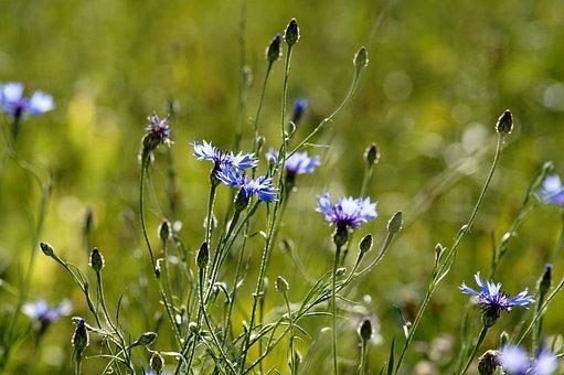 Cornflower, Flower, Nature, Summer, Blue, Meadow