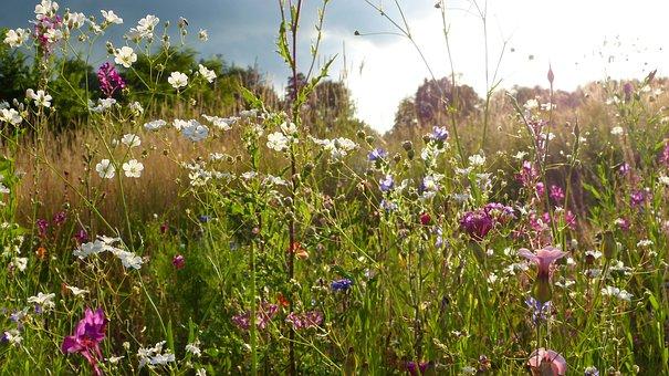 Wild Flowers, Meadow, Flowers, Sunset, Clouds, Field