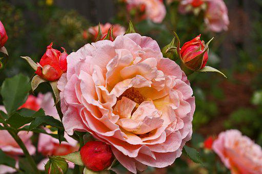 Roses, Garden Roses, Flowers, Nature, Garden, Fragrance