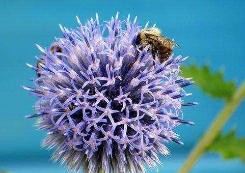 Thistle, Flower, Bees, Insects, Flowers, Violet, Nature