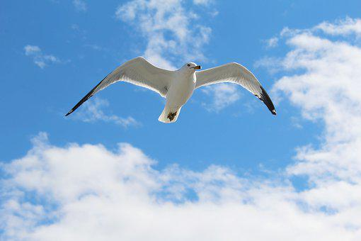 Seagull, Bird, Gull, Animal, Fly, Nature, Flight, Sky