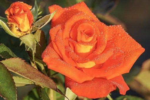 Rose, Orange, Blossom, Bloom, Plant, Fragrance