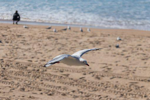 Seagull, Flight, Bird, Fly, Nature, Animal, Freedom
