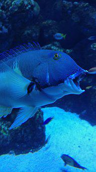 Great Barrier Reef, Fish, Open Mouth