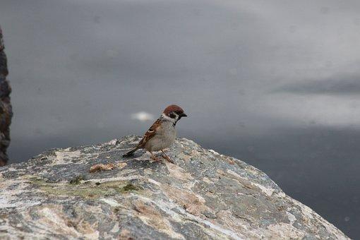 Sparrow, Bird, Grey, Stone, Nature, Living Nature