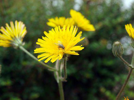Insect On Flower, Fly, Yellow Flower, Insect, Dandelion