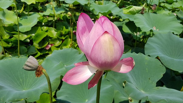 Lotus, Lotus Leaf, Flowers, Pond