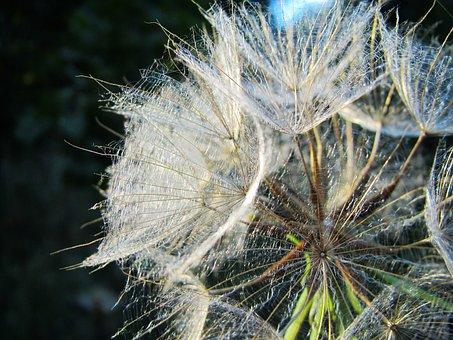 Dandelion, Plant, Nature, Flower, Seeds, Macro