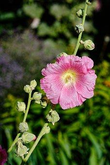 Mallow, Flower, Pink, Garden, Summer