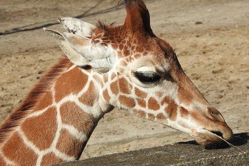 Giraffe, Giraffe Head, Zoo, Africa, Safari, Mammal