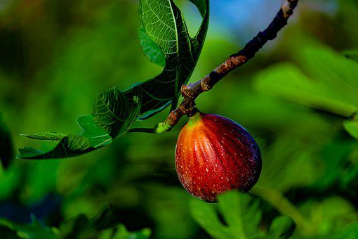 Fig, Fig Tree, Fruit, Sweet, Nature, Healthy, Food, Red