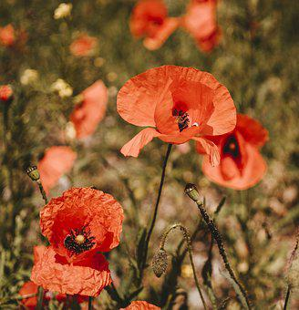 Poppies, Poppy, Flower, Plant, Beautiful, Nature