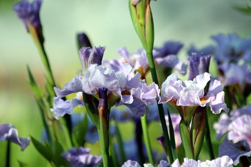 Irises, Flowers, Spring Flowers, Handsomely, Nature