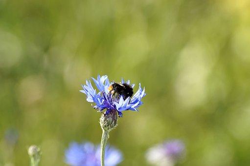 Cornflower, Hummel, Flower, Nature, Insect, Blue