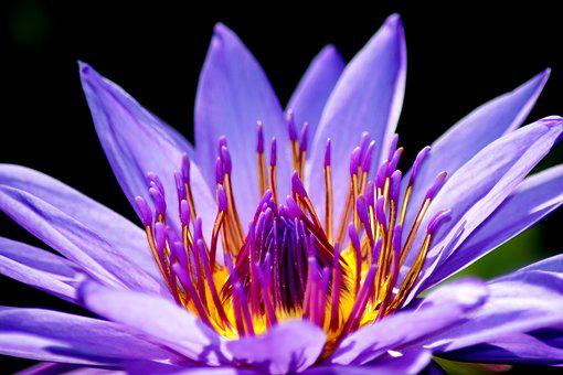 Water Lily, Flower, Nymphaea, Nature, Plant, Flora