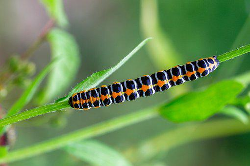 Caterpillar, Dovetail, Orange, Black, Farbenpracht