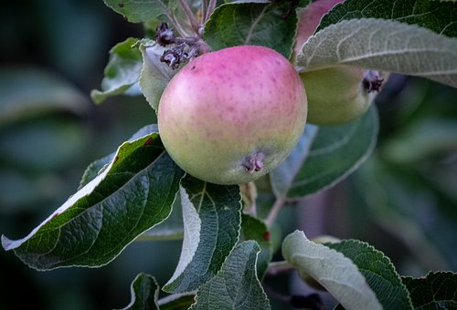 Fruit, Apple, Pear, Growth, Green, Immature, Healthy