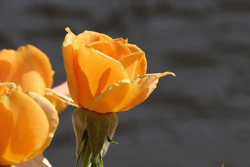 Orange Rose, Flower, Spring, Bloom, Romantic, Petals