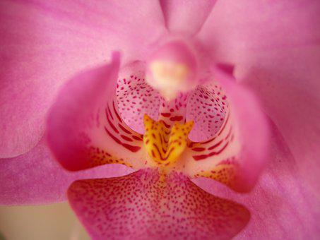 Orchid, Pink, Flower, Closeup