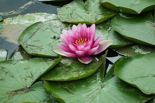 Flower, Water Lily, Pond, Pink, Foliage, Nature