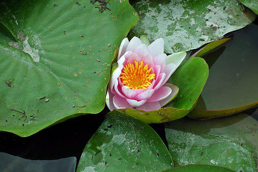 Water Lilies, Pond, Pink, Water Lily, Flowers, Foliage