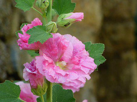 Pink, Flower, Trémière, Nature, Summer, Beauty, Petals