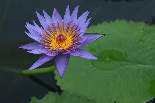 Kite, Lotus, Water Lilies, Nature, Flowers, Plants