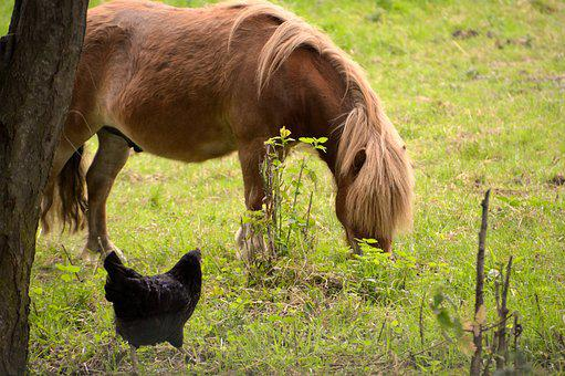 Animal, Animals, Pony, Hen, Backyard, Pre, Fauna