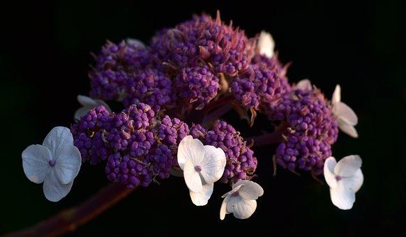 Hydrangea, Purple, Blossom, Bloom, Flower