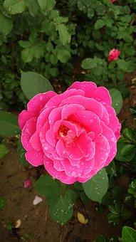 Chinese Rose, Rose, Rain