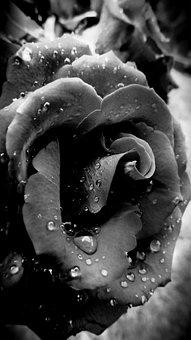 Rose, Flower, Grey, Drops, Rain