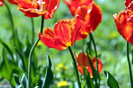 Red Tulip, The Scarlet Tulip, Flower, Spring, Beauty