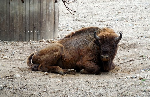 Bison, Rest, Animal