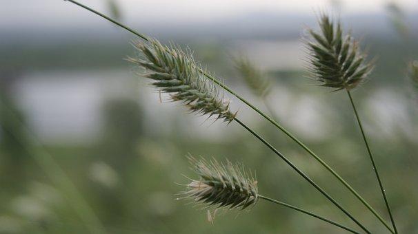 Grass, Kolosok, Greens, River