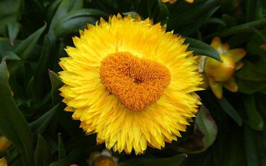 Yellow Heart, Italicum, Blossom, Bloom, Romance
