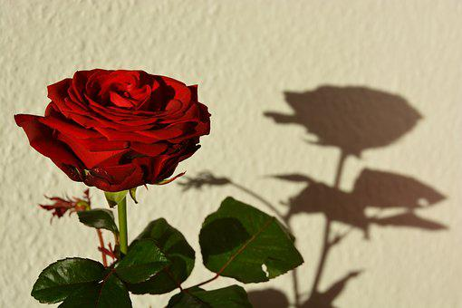 Rose, Red, Shadow, Flower, Blossom, Bloom, Romantic