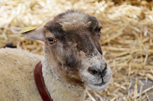 Sheep, Animal, Farm, Country Festival, Animal Farm