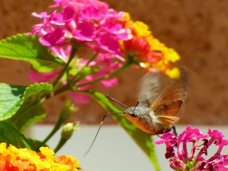 Sphinx, Flower, Butterfly, Insects, Garden, Wings