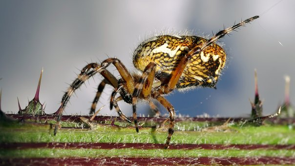 Spider, Yellow, Insect, Macro, Arachnid